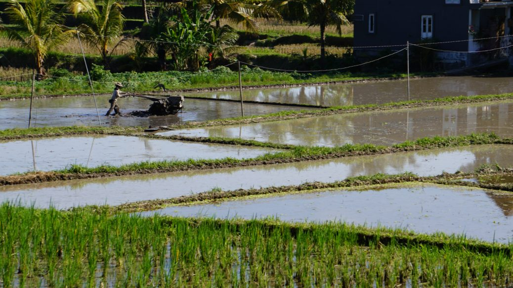 Arbeiter auf den Reisfeldern in Ubud