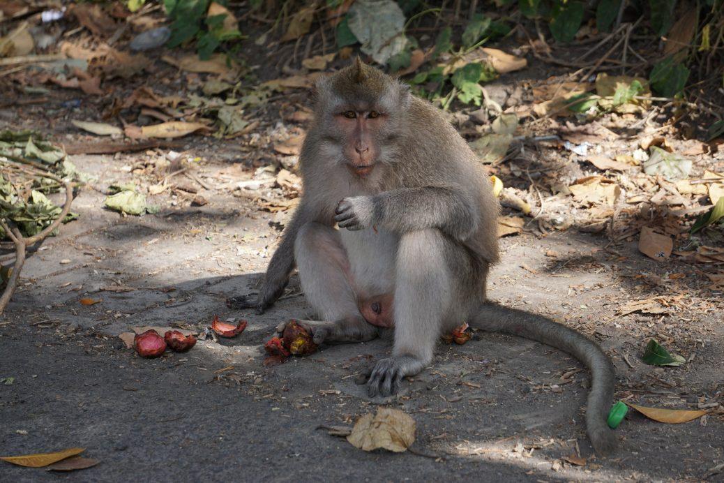 Obstdieb Makake nach dem Überfall